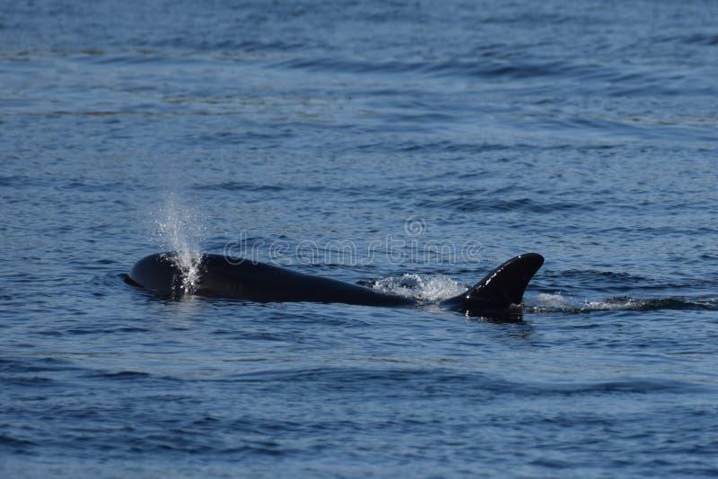 WCHODZIĆ NA GÓRĘ DLA powietrza, orka wieloryb Z VANCOUVER wybrzeża obraz stock