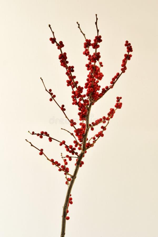 Wciąż życia studia strzał czerwone wysuszone jagody na gałąź odizolowywającej na białym tle zdjęcia stock