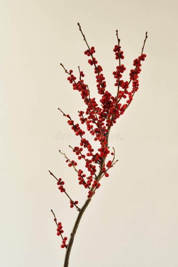 Wciąż życia studia strzał czerwone wysuszone jagody na gałąź odizolowywającej na białym tle zdjęcie royalty free