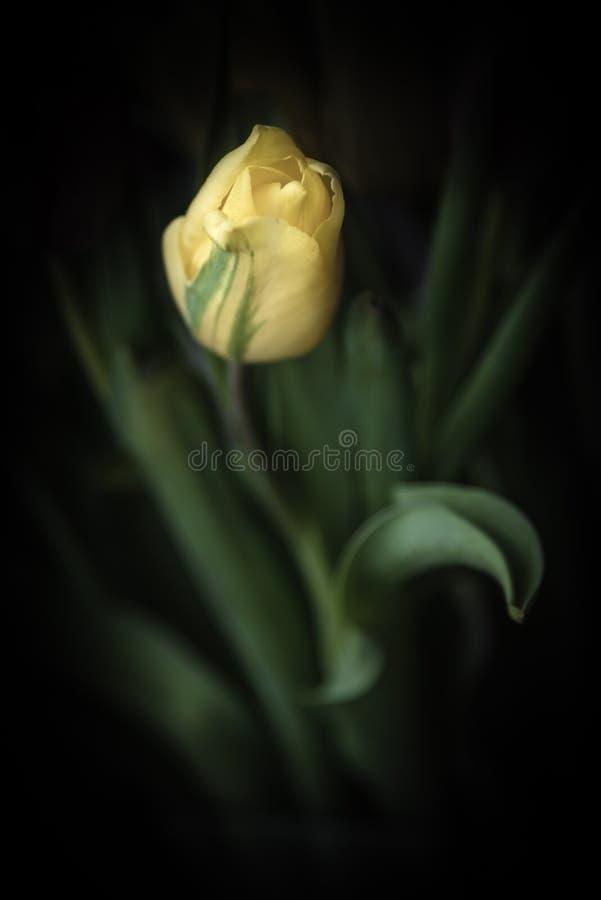 Wciąż życie fotografia pojedynczy żółty tulipan przeciw ciemnemu tłu fotografia royalty free