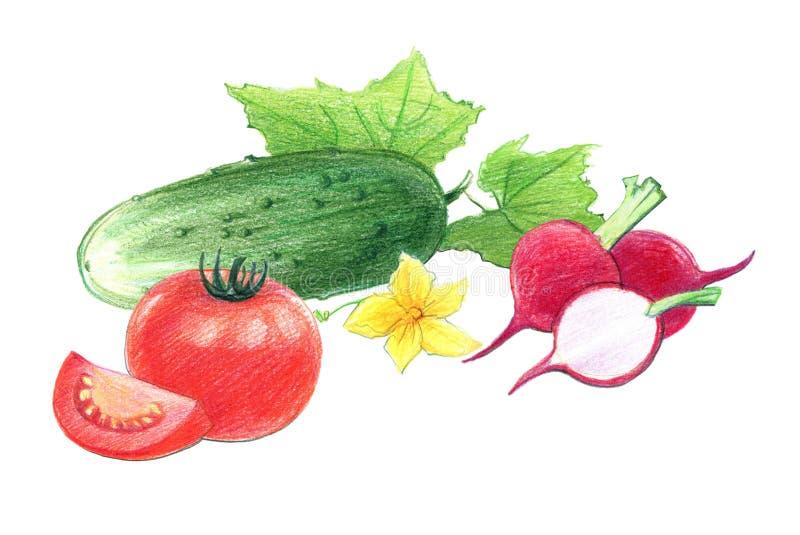 Wciąż życie pomidory, rzodkwie i ogórki, Rysuj?cy z barwionymi o??wkami, odizolowywaj?cymi na bia?ym tle ilustracji