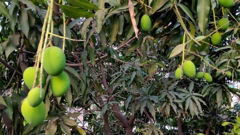 Wciąż mango na drzewie fotografia stock