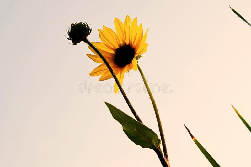 Wco del fllower de Sun fotos de archivo