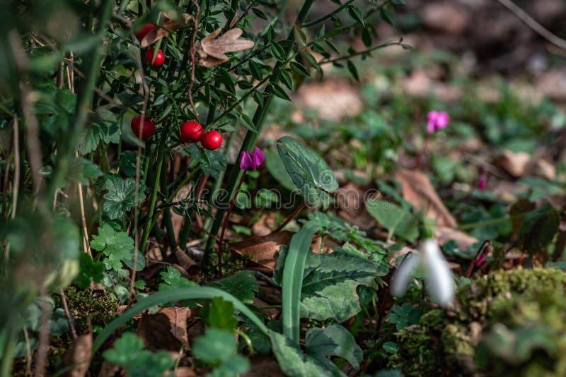 Wcześni lasowi bloomers cyclamens fotografia royalty free