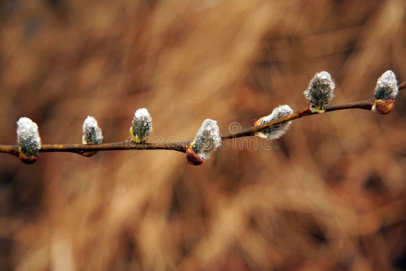 Wcześni wiosny drzewa pączki zdjęcie royalty free