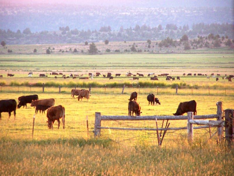 wcześnie rano pastwiskowy bydła fotografia royalty free