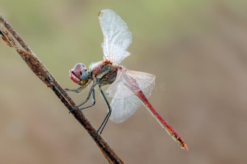 Wcześnie rano suszy swój skrzydła od rosy pod pierwszy promieniami słońce dragonfly na ostrzu trawa zdjęcia royalty free