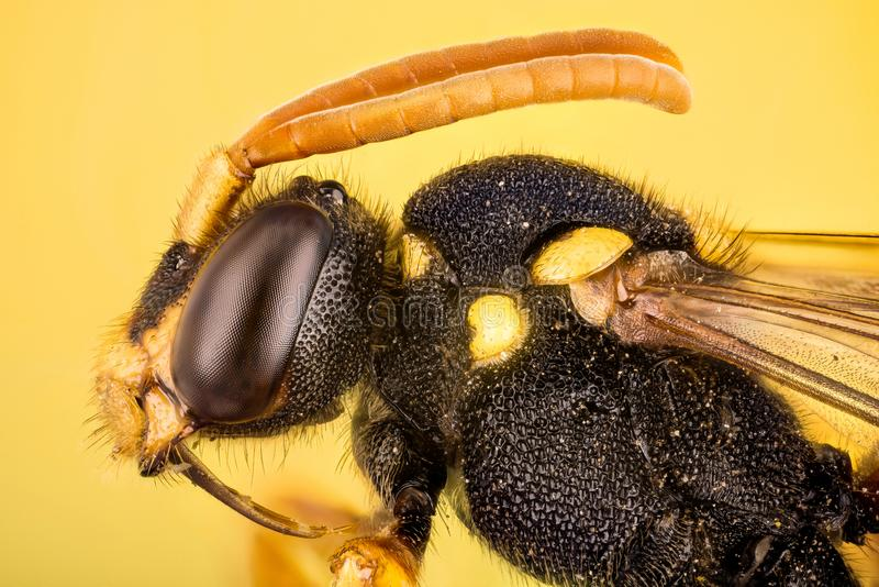 Wczesna koczownik pszczoła, koczownik pszczoła, Nomada leucophtalma zdjęcia stock