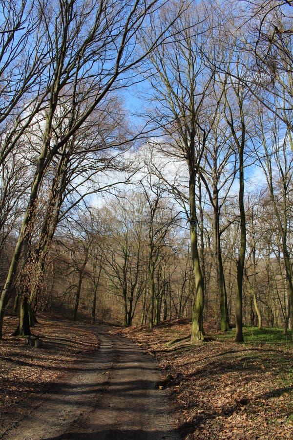Wczesna wiosna europejski las z drzewami wciąż bez liści - centrala - obrazy royalty free
