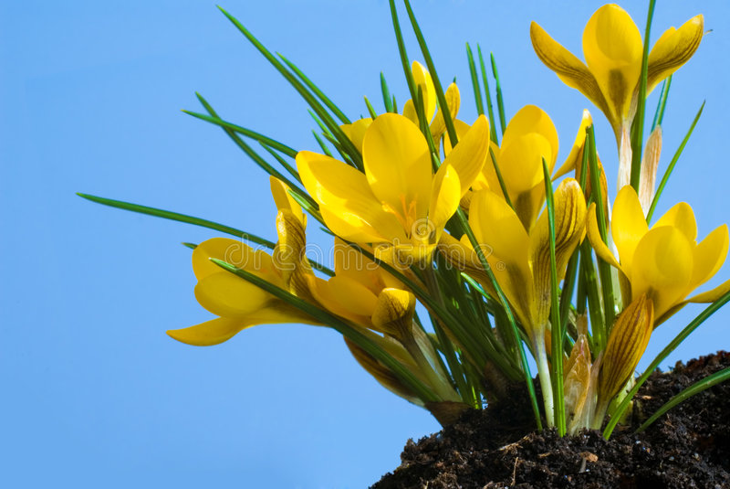 wczesna wiosna krokus zdjęcie stock
