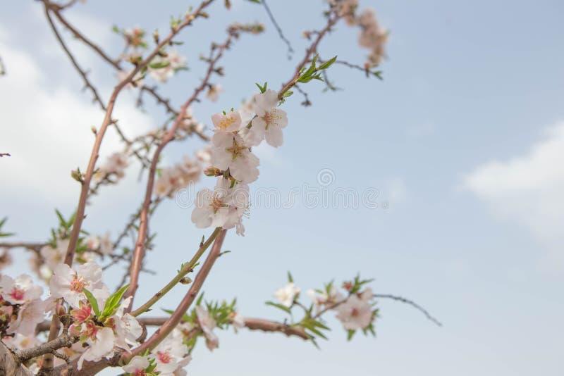 Wczesna wiosna kwitnie Migdałowego drzewa kwitnie i rozgałęzia się nad niebieskie niebo natury tłem zdjęcia stock