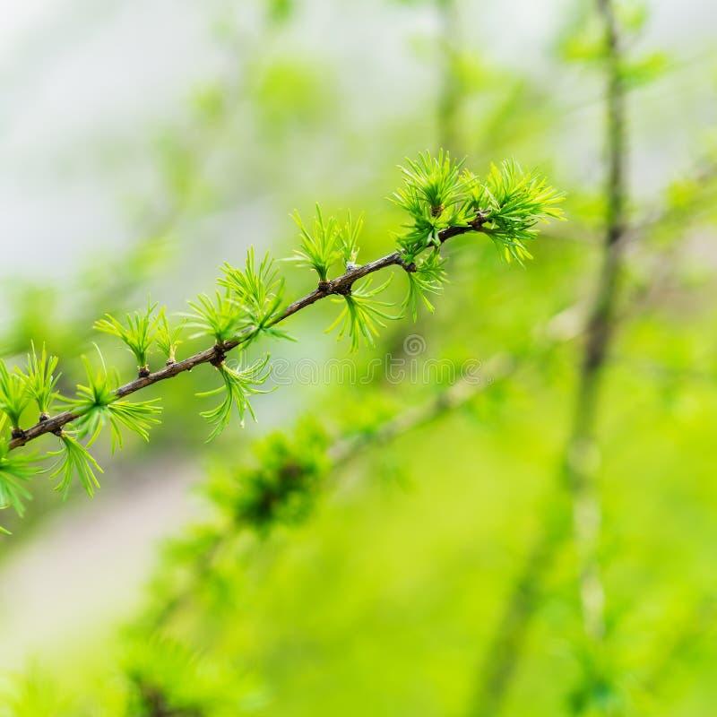 Wczesna wiosna, młody modrzewiowy zakończenie, pojęcie wiosna, sezony, pogoda Świeża iglasta gałąź, nowożytny naturalny obrazy royalty free