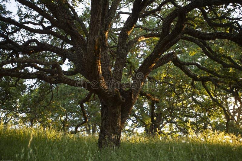 Wczesnego poranku światło słoneczne podkreśla majestatycznego błękitnego dębowego drzewa w lasach góra Wanda zdjęcia stock