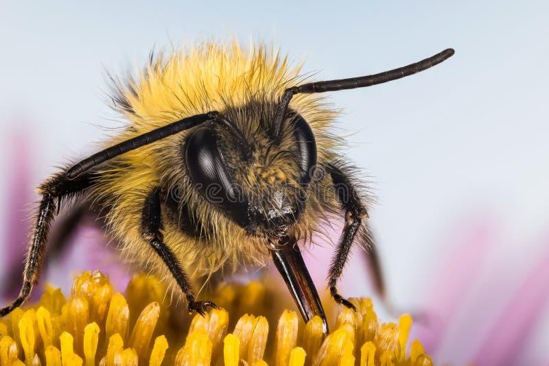 Wczesny bumblebee, Bumblebee, Bombus pratorum zdjęcia royalty free