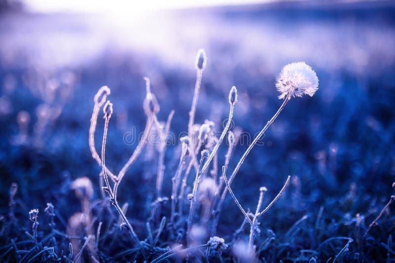 Wczesny poranek marznąca hoarfrost roślina w wczesnym jesień ranku Mroźne rośliny w ogródzie, zbliża się zima czas obraz royalty free