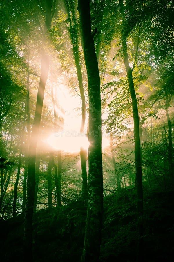 Wczesny poranek w lesie, mgła i sunbeams, błyszczymy pięknie przez drzew, fotografia royalty free
