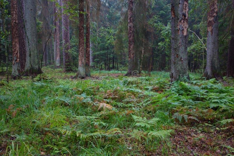 Wczesny poranek w lesie z nieżywymi świerczynami wciąż stoi obrazy royalty free