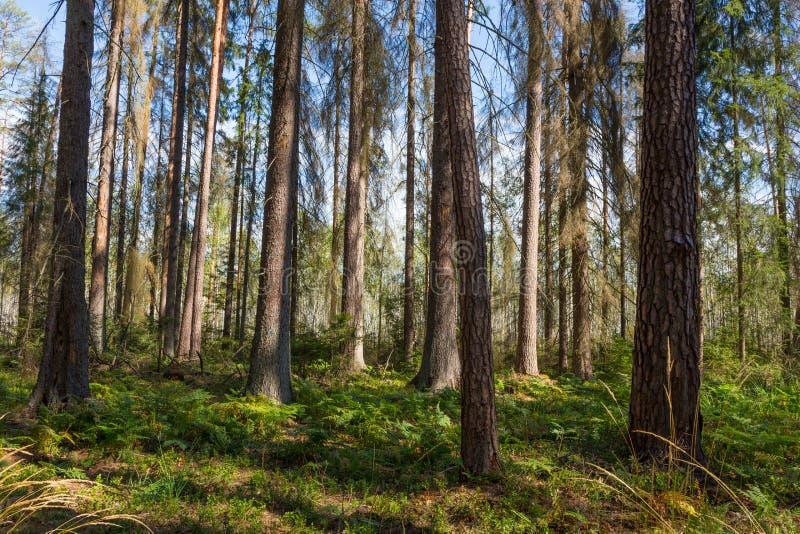 Wczesny poranek w lesie z nieżywymi świerczynami wciąż stoi zdjęcia stock