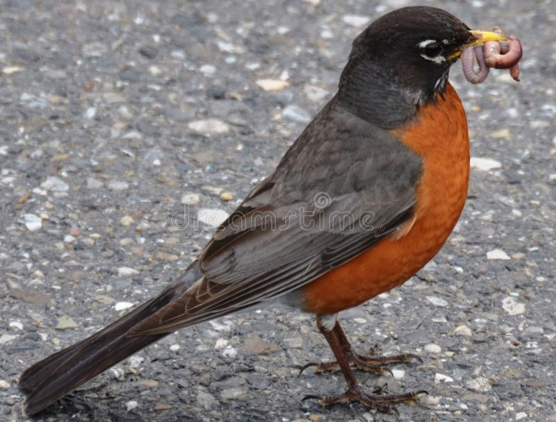 Wczesny ptak dostaje dżdżownicy obrazy royalty free