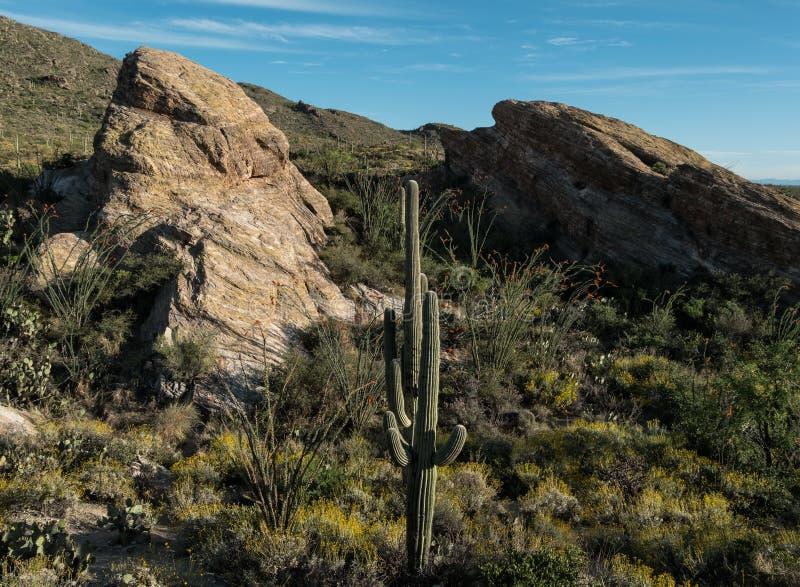 Wczesny wieczór przy Saguaro parkiem narodowym zdjęcia royalty free