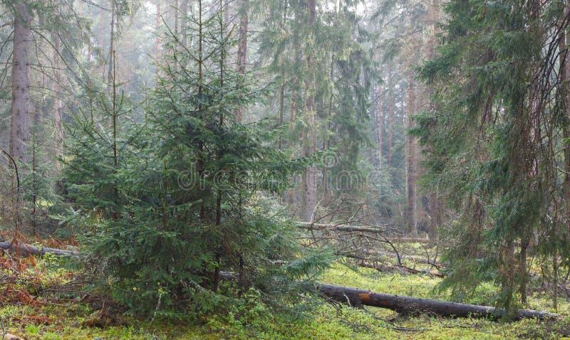 Wczesny wiosna ranek w iglastym lesie obraz stock