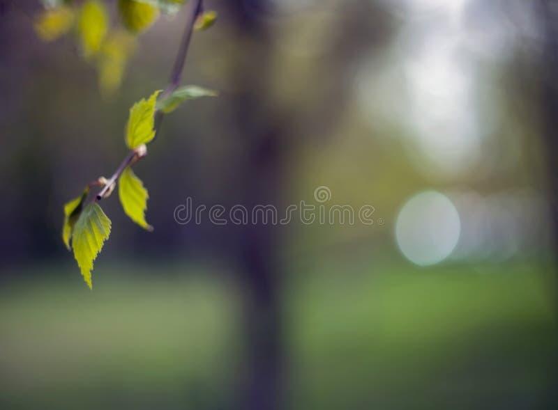 Wczesny wiosny brzozy drzewo opuszcza na gałąź z zamazanym tłem fotografia royalty free