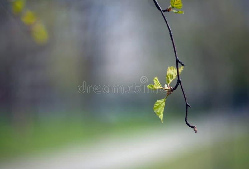 Wczesny wiosny brzozy drzewo opuszcza na gałąź z zamazanym tłem obrazy royalty free