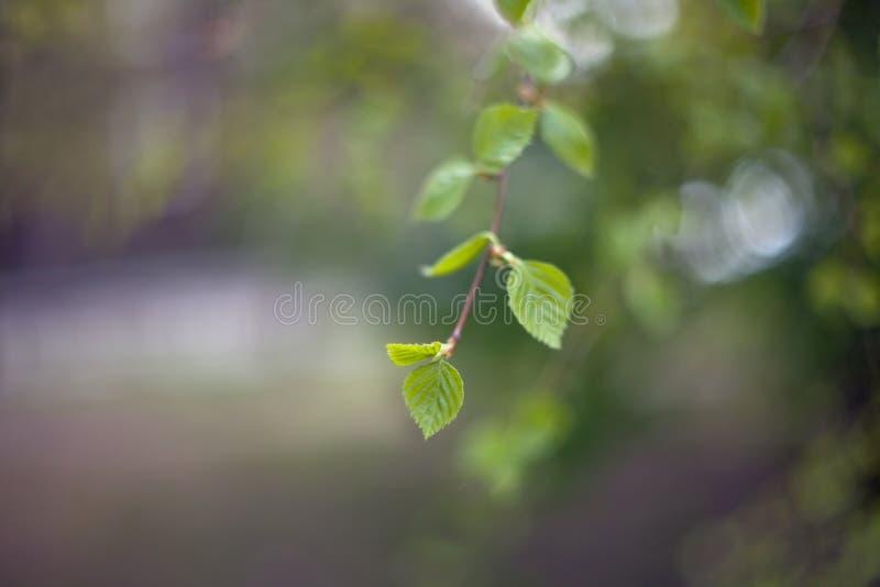 Wczesny wiosny brzozy drzewo opuszcza na gałąź z zamazanym tłem obraz royalty free