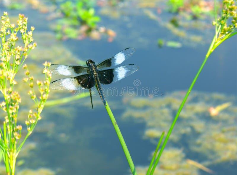 Wdowi cedzakowy dragonfly umieszczający na trawie obrazy stock