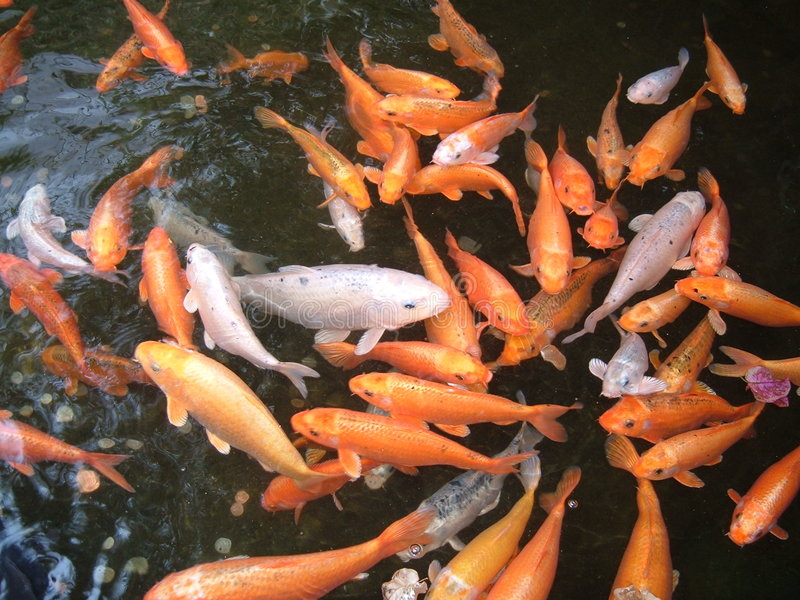 Wealthy Fish (Feng Shui) royalty free stock image