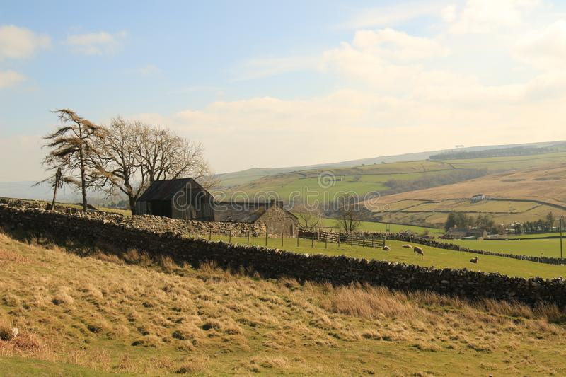 Weardale moorland farm. A moorland small holding farm building in weardale surrounded by old stone walling with grazing sheep and wind blown trees with a stock photos