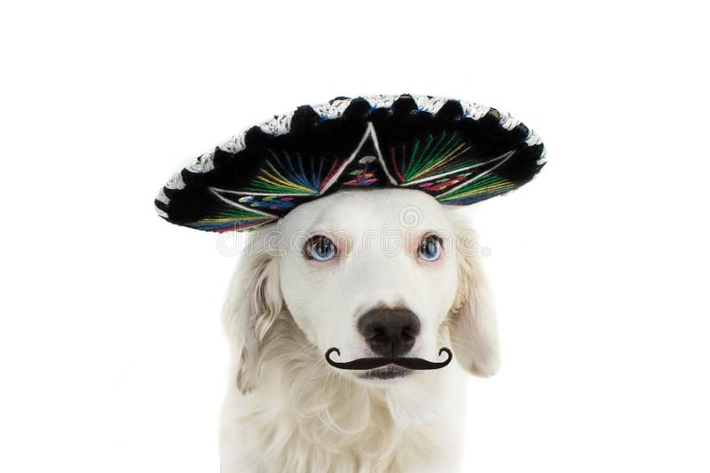 WEARING A MEXICAN MARIACHI HAT AND A MUSTACHE OR MUSTACHE. LOOKING AT CAMERA. ISOLATED SHOT AGAINST WHITE BACKGROUND stock photo