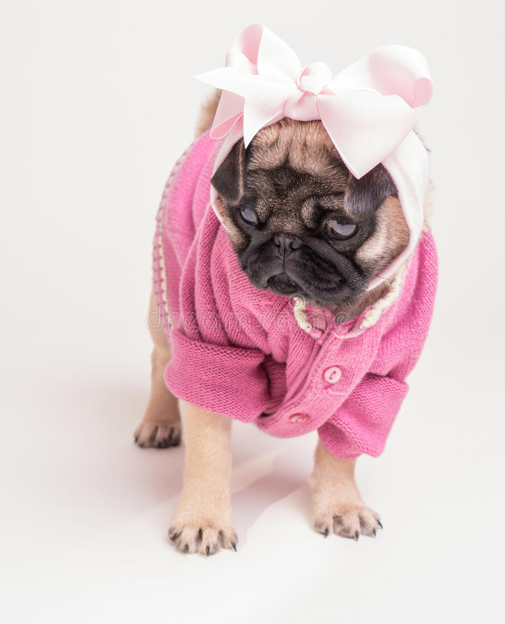 Download Wearing My Pink Sunday Best - Pug Puppy Stock Photo - Image: 24701356