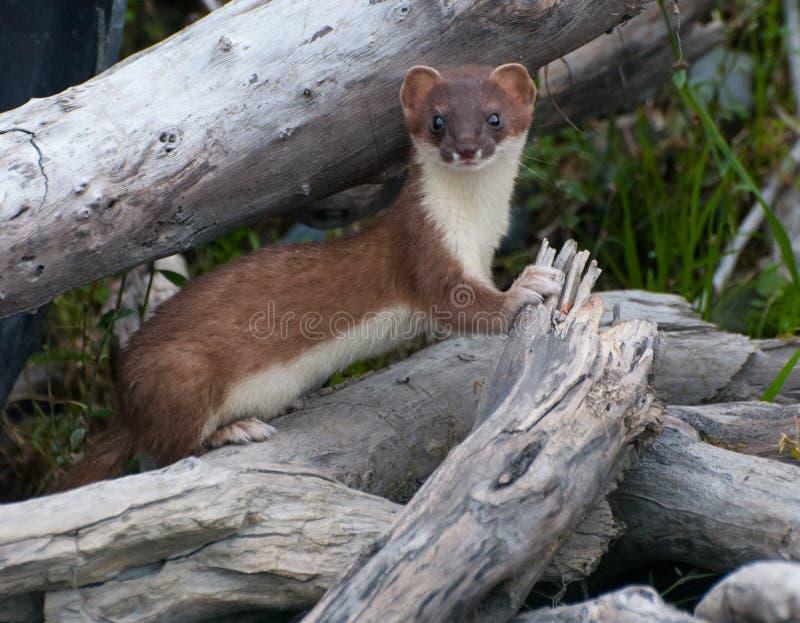 weasel стоковое изображение rf