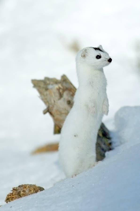 Weasel (nivalis di nivalis del Mustela) immagini stock libere da diritti