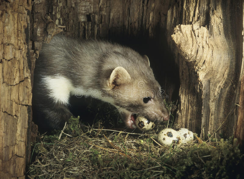 Download Weasel Stealing Eggs From Nest Stock Image - Image: 30845591