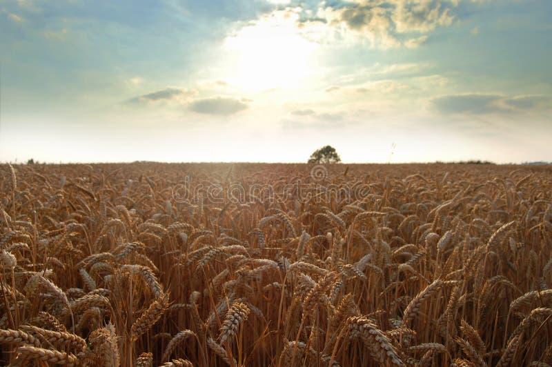 Weat Feld mit einem silbernen Himmel stockfotografie