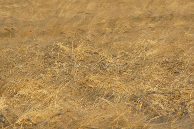 Weat field background stock image
