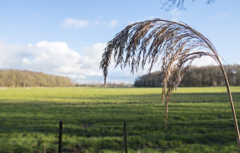 Weat gräs i fältet arkivbild