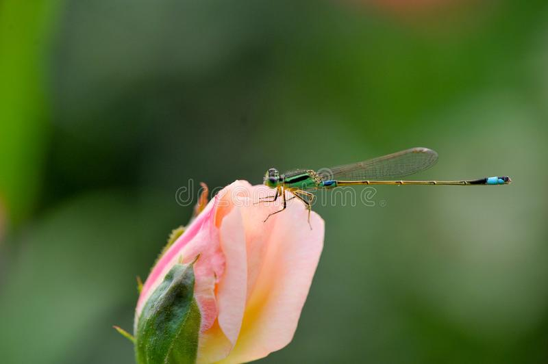 The Dragonflies stop in roses. The weather is hot and the atmosphere is dull ,Dragonflies stop in roses,A damselfly stock photo