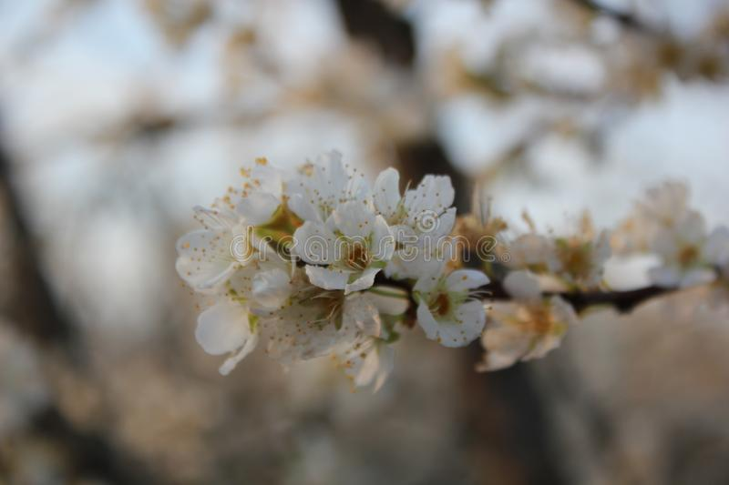Early Spring in the Plum Orchard stock photography