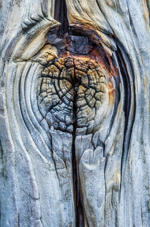 Weathered breaker, Suyllivans Island SC, Atlantic Ocean. A weathered and worn wood knot. Located along the wooden breaker between the Atlantic Ocean and Sullivan stock images
