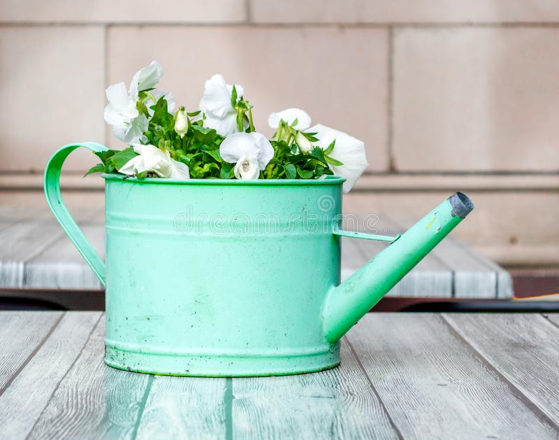 Weathered green watering can filled with flowers on a wooden table. Weathered green metal watering can filled with delicate white flowers as a centerpiece on a royalty free stock image