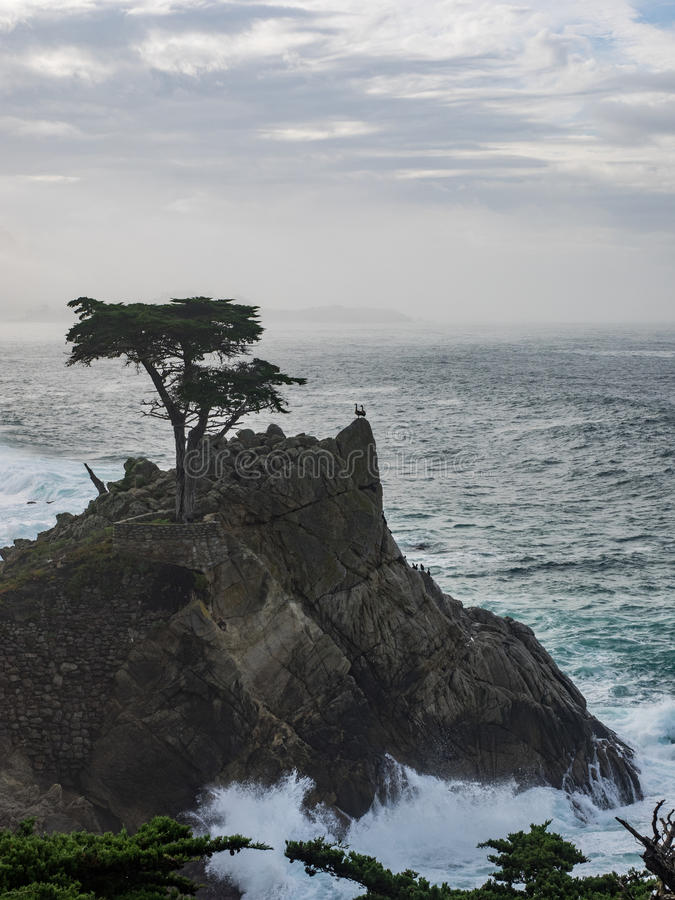 Weathered Monterey Cypress trees at the coast stock image