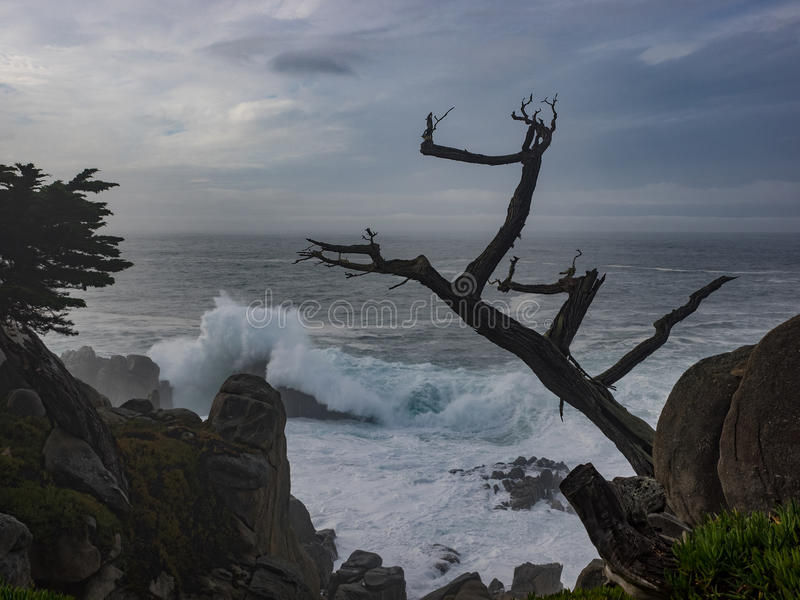 Weathered Monterey Cypress trees at the coast royalty free stock image