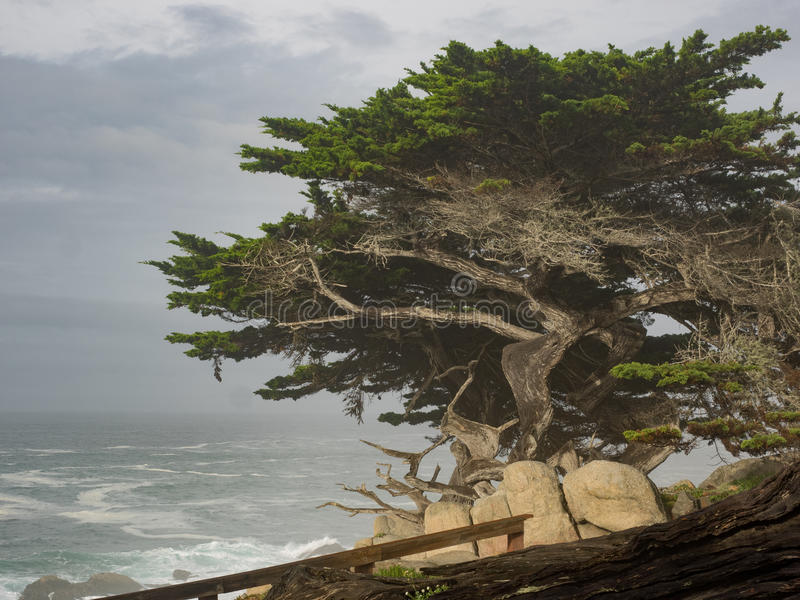 Weathered Monterey Cypress trees at the coast royalty free stock photo