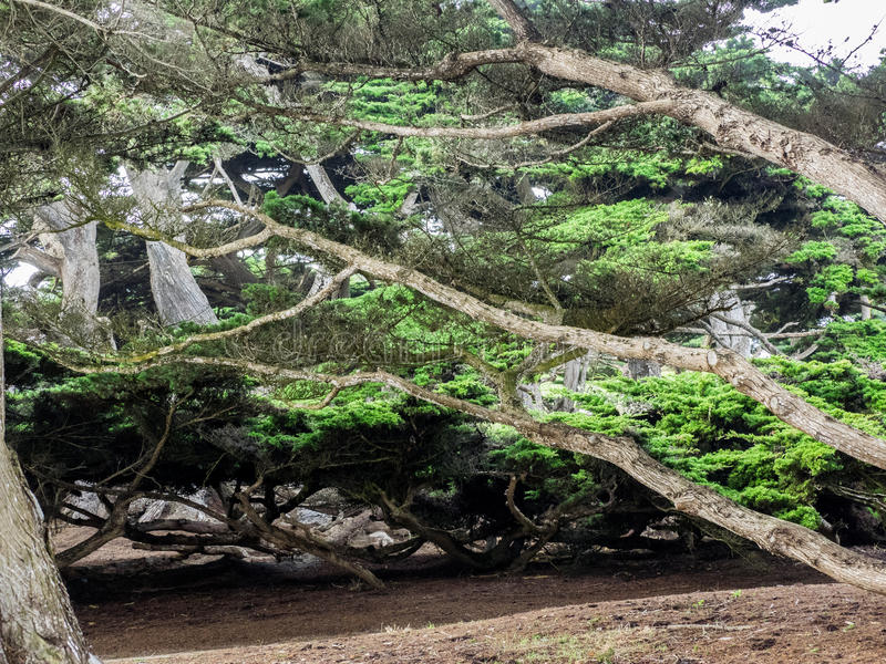 Weathered Monterey Cypress trees royalty free stock photography