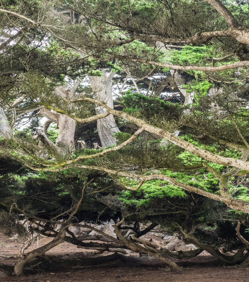 Weathered Monterey Cypress trees stock photography