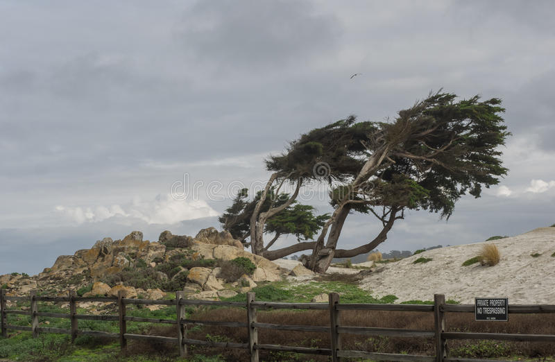 Weathered Monterey Cypress trees royalty free stock images
