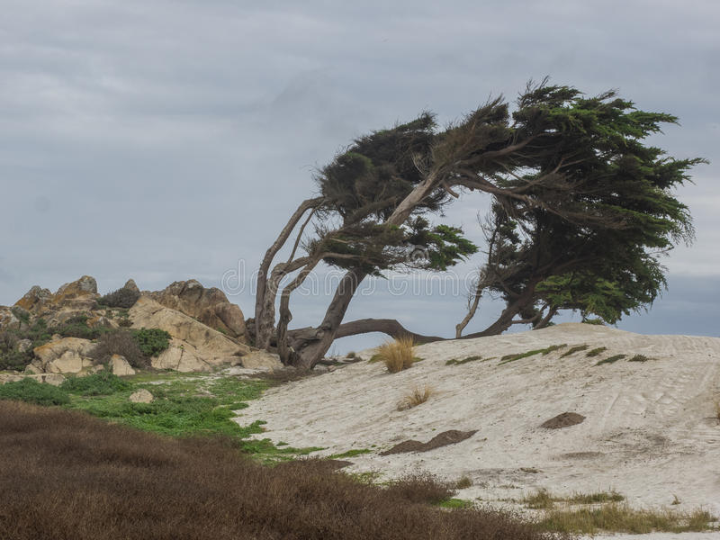 Weathered Monterey Cypress trees stock photo